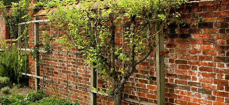 Everything you need to know about espalier