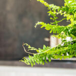 About ferns