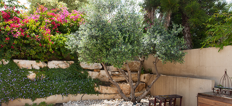 All about olive trees