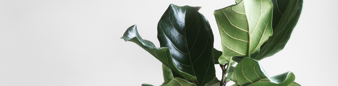 How to care for Fiddle Leaf Figs & other indoor figs