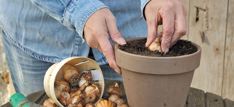 Growing bulbs in pots