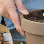 Growing bulbs in pots