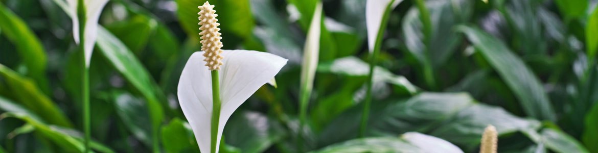 The perfect house plant: How to care for your Peace Lily
