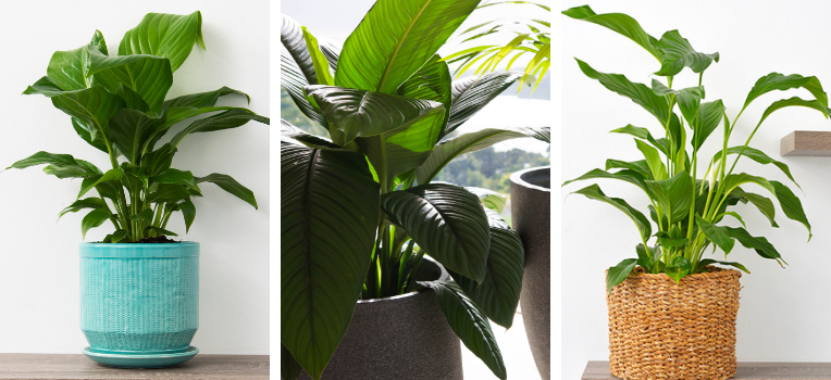 Three varieties of spathiphyllum displaying the diversity that can be found in this plant family.
