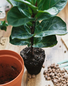 Repotting fiddle leaf fig