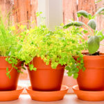 How to grow a herb garden on your windowsill