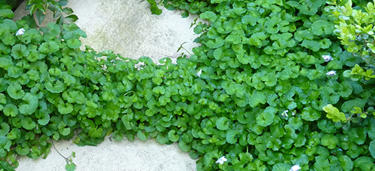 Native groundcover