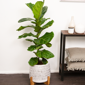 A tall Fiddle Leaf Fig takes pride of place next to a hall table featuring a candle, vases and cushions. It's in a white Lagoon Pot with black details and a wooden stand.