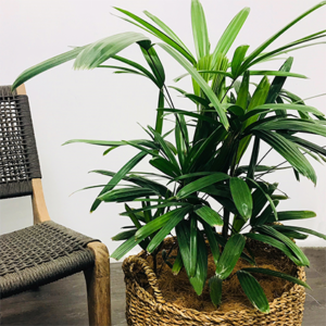 A bushy Rhapis Palm potted up in a basket next to a rope occasional chair.