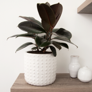 The dark and glossy foliage of the Rubber Plant contrasts beautifully against the white Ferma Pot. Some small white vases sit on the same shelf.