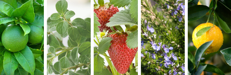 A bright selection of fruits and herbs that are suitable for growing in pots on a balcony.
