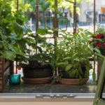 Top 10 edibles to grow on your balcony