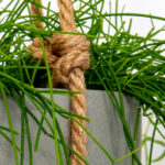 Top 10 hanging and trailing indoor plants
