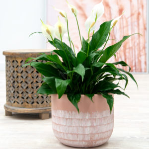 A leafy Spathiphyllum potted up in a blush Hudson Pot adds a splash of colour to a plain corner.