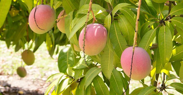 Three ripe Bowen mangoes hanging off a leafy tree.