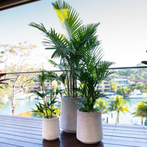 Three palm varieties (Rhapis, Bangalow and Golden Cane) in lightweight cement pots.