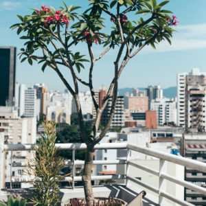 An advanced frangipani with some smaller plants on a city balcony.