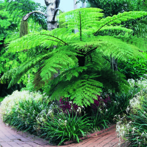 A magnificent Cyathea Cooperi, underplanted with flowering plants and bushes.