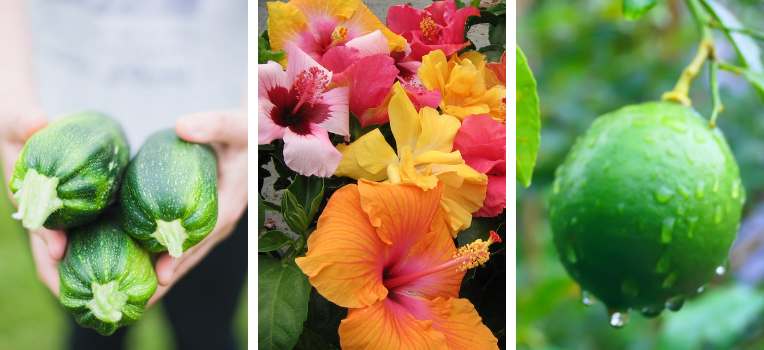 A person holding three zucchinis; a grouping of colourful hibiscus blooms; a lime on a tree dripping with water.