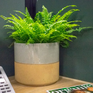 A full and fluffy Duffy Fern, making a statement on an office desk next to a telephone and some gardening magazines.