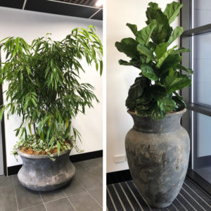Ficus Sabre with underplanting of Pothos Marble Queen and a Ficus Lyrata, both potted up in the Flower Power foyer.