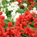Caring for salvia