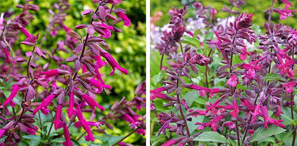 Beautiful, deep-toned salvia plants.