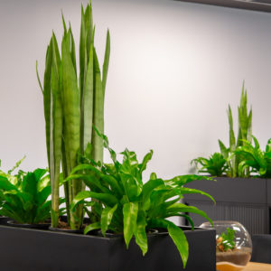 A cupboard is turned into a divider by adding a planter box with Sansevieria and Birds Nest Ferns on top of it.
