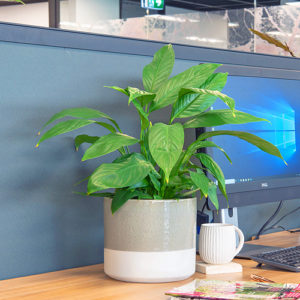 A Spathiphyllum Sensation Junior sits on a desk beside a computer.