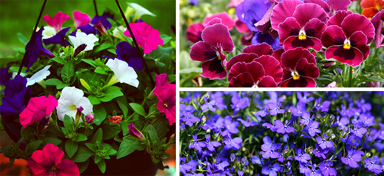 A hanging basket full of pink, purple and white petunias, a field of pansies including burgundy and purple shades, and a mass of purple lobelia.