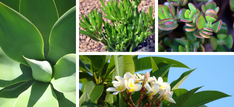 A range of succulent-style plants that make immediate garden impact with minimal care needs.