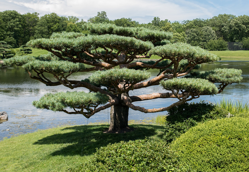 Japanese garden with cloud-pruned feature tree