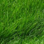 Maintaining a green lawn during Level 1 Sydney water restrictions