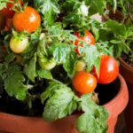 How to plant tomatoes: 7 common mistakes when growing tomatoes in pots