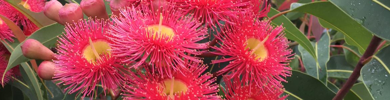 Fast-growing Australian native trees