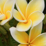Frangipani care: How to grow a frangipani