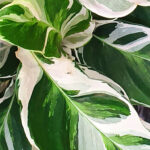 Variegated indoor plants: our top picks