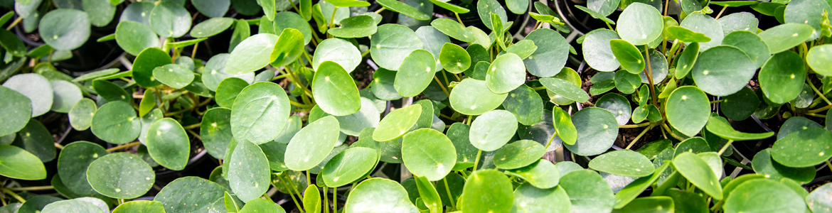Caring for pilea