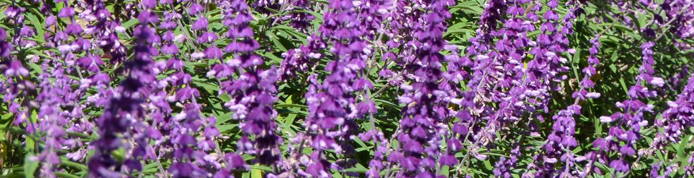 The best winter-flowering shrubs for Sydney gardens