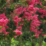 Crepe myrtle: the perfect summer flowering tree