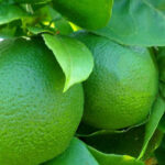 The complete citrus care guide for Sydney gardens