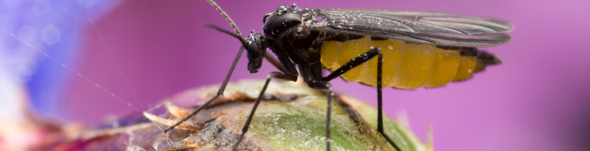 Fungus gnats! How to get rid of fungus gnats in indoor plants