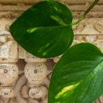 Pothos Plant Guide: How To Care For Devil's Ivy