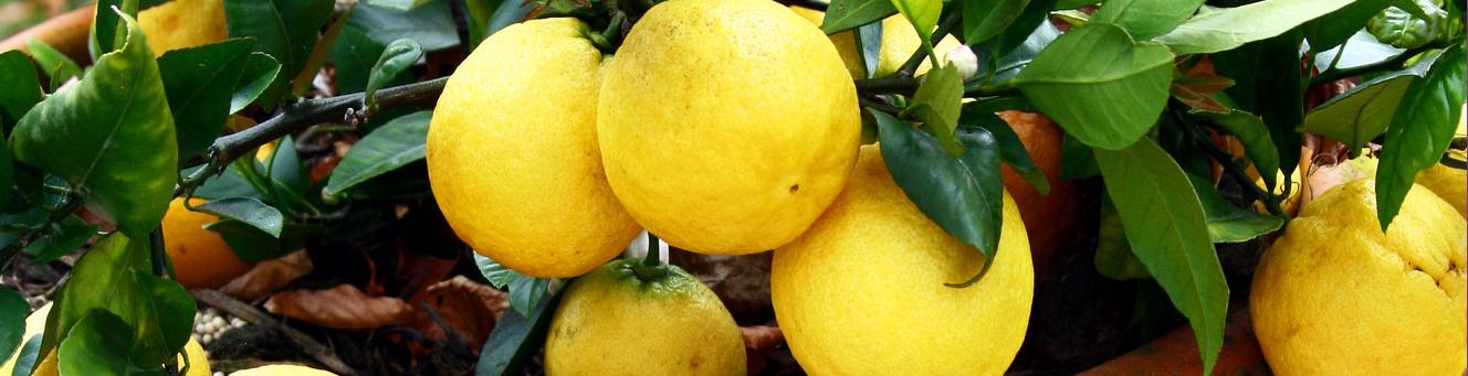 How to grow citrus in pots
