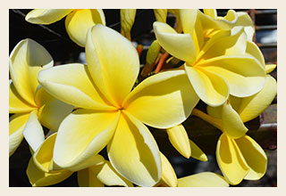 Frangipani-Plumeria-rubra-'Darwin-Yellow'-300x200