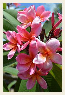 Frangipani-Plumeria-rubra-pink-200x300