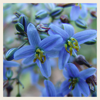 Dianella-cassa-blue-flower-300x300