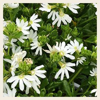 Fan-flower-white