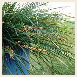 Lomandra-Tanika-flowering-300x300