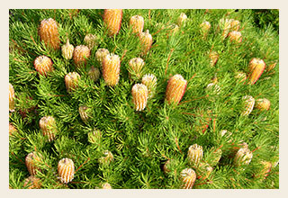 banksia-birthday-candles-300x200